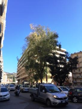 Salice piangente in Via Orofino di Salerno